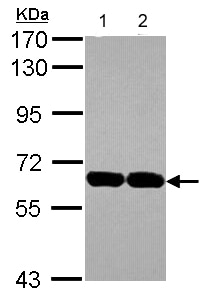 Western blot - Anti-USP14/TGT antibody (ab137432)