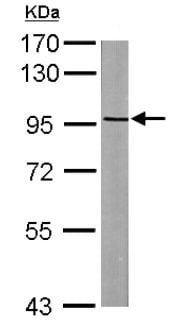 Western blot - Anti-ASAP2 antibody (ab137514)