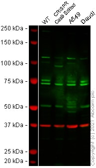 Western blot - Anti-PAF1/PD2 antibody (ab137519)