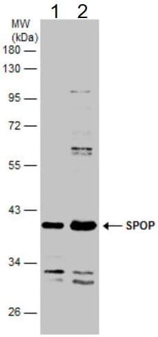 Western blot - Anti-SPOP antibody (ab137537)