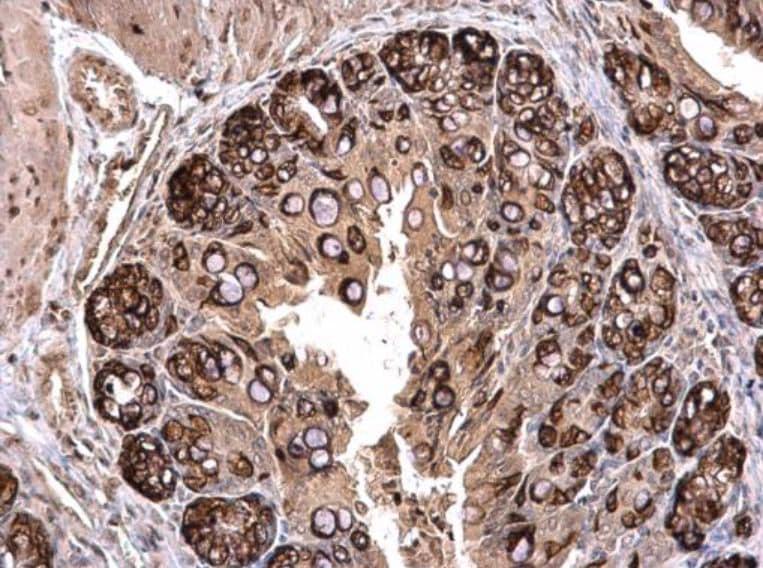 Immunohistochemistry (Formalin/PFA-fixed paraffin-embedded sections) - Anti-PLK2 antibody (ab137539)