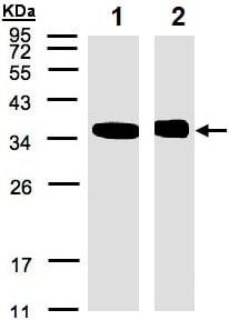 Western blot - Anti-N myc interactor/NMI antibody (ab137555)