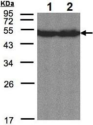 Western blot - Anti-CREB3L1/OASIS antibody (ab137565)