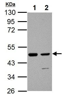 Western blot - Anti-IDH1 antibody (ab137568)