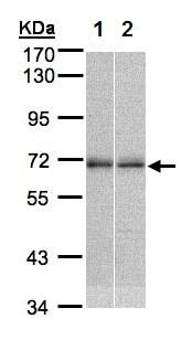 Western blot - Anti-TR4 antibody (ab137582)
