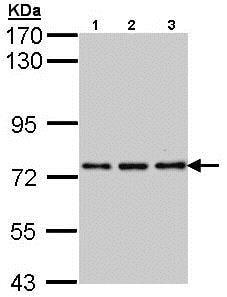 Western blot - Anti-NPAS2 antibody (ab137601)