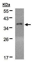 Western blot - Anti-EIF2S1 antibody (ab137626)