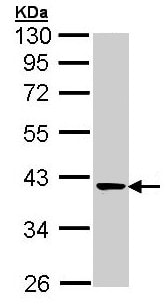 Western blot - Anti-Transaldolase 1 antibody (ab137629)