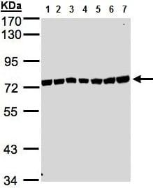Western blot - Anti-KIAA1530 antibody - N-terminal (ab137644)