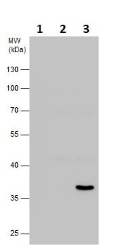 Western blot - Anti-Annexin-2/ANXA2 antibody (ab137645)
