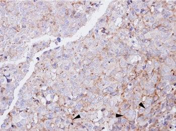 Immunohistochemistry (Formalin/PFA-fixed paraffin-embedded sections) - Anti-Glucagon Receptor antibody - N-terminal (ab137649)