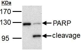 Western blot - Anti-PARP1 antibody (ab137653)