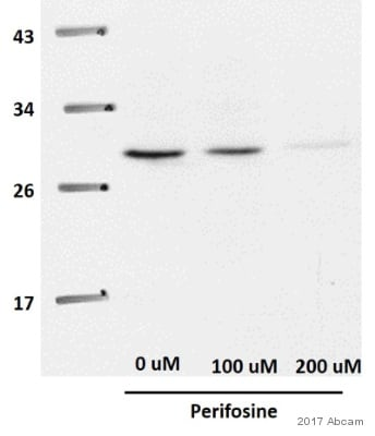 Western blot - Anti-Cdk4 antibody (ab137675)