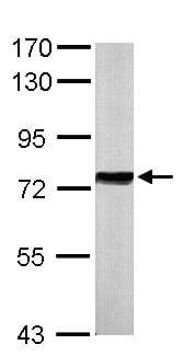 Western blot - Anti-Hsp70 antibody (ab137680)