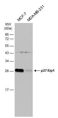 Western blot - Anti-p27 KIP 1 antibody (ab137736)