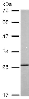 Western blot - Anti-Hsp27 antibody (ab137748)