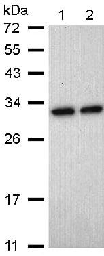 Western blot - Anti-Heme Oxygenase 1 antibody (ab137749)