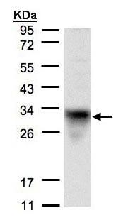 Western blot - Anti-CYC1 antibody (ab137757)