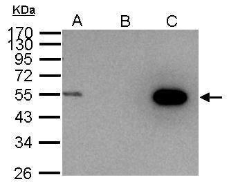 Immunoprecipitation - Anti-Cyclin A2 antibody (ab137769)