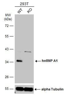 Western blot - Anti-hnRNP A1 antibody (ab137780)