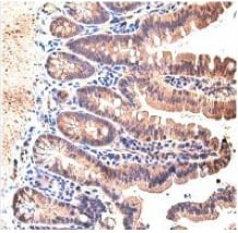 Immunohistochemistry (Formalin/PFA-fixed paraffin-embedded sections) - Anti-STAT3 antibody - C-terminal (ab137803)