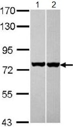 Western blot - Anti-Hsc70 antibody (ab137806)