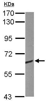 Western blot - Anti-CRMP1 antibody (ab137837)