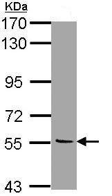 Western blot - Anti-Monoamine Oxidase B/MAOB antibody (ab137863)