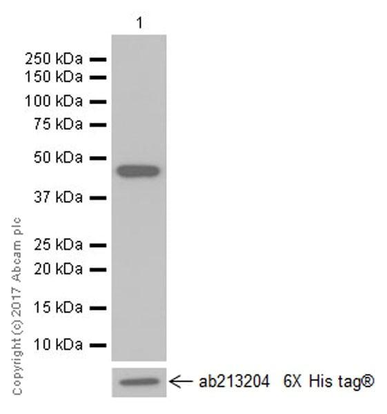 Western blot - Anti-LEF1 antibody [EPR2029Y] (ab137872)