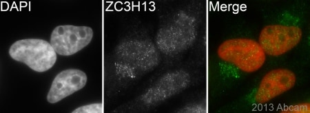 Immunocytochemistry/ Immunofluorescence - Anti-ZC3H13 antibody (ab138150)