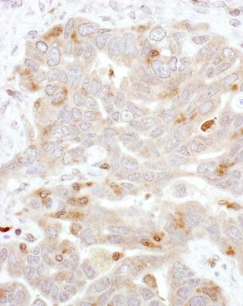 Immunohistochemistry (Formalin/PFA-fixed paraffin-embedded sections) - Anti-Beta Arrestin 2 antibody (ab138421)