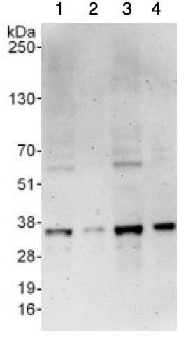 Western blot - Anti-RPB3 antibody (ab138436)