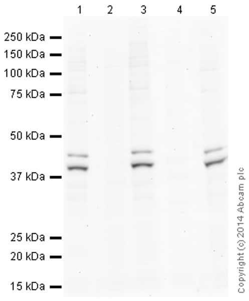 Western blot - Anti-Erk1 (pT202/pY204) + Erk2 (pT185/pY187) antibody (ab138482)