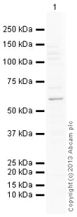 Western blot - Anti-BMPR1B antibody (ab138484)