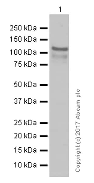 Western blot - Anti-NEK9 antibody [EP7361] (ab138488)