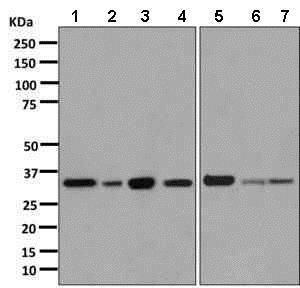 Western blot - Anti-Annexin A1/ANXA1 antibody [EPR2767(2)] (ab138512)