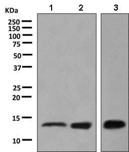 Western blot - Anti-Galectin 1 antibody [EPR3206(2)] (ab138513)