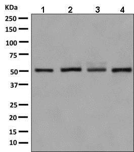 Western blot - Anti-E2F2 antibody [EPR8622] (ab138515)