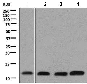Western blot - Anti-PCBD1 antibody [EPR9760(B)] (ab138518)