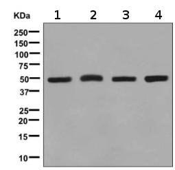 Western blot - Anti-Tbp7 antibody [EPR9911(B)] (ab139184)