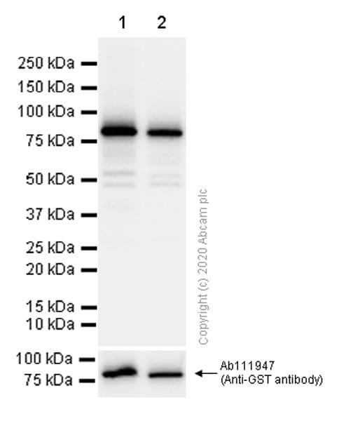 Western blot - Anti-NPR-A + NPR-B antibody [EPR5719(2)] (ab139188)