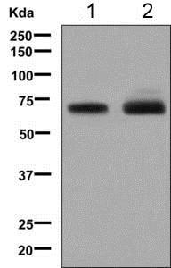 Western blot - Anti-LZP antibody [EPR9348] (ab139190)