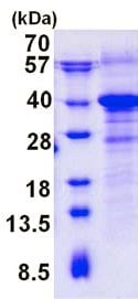 SDS-PAGE - Recombinant Dog RWDD1 protein (ab139198)