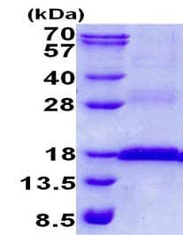 SDS-PAGE - Recombinant Human CD3 epsilon protein (ab139219)