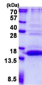 SDS-PAGE - Recombinant Human UfSP1 protein (ab139220)