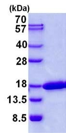 SDS-PAGE - Recombinant Human CDK2AP2 protein (ab139232)