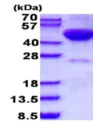SDS-PAGE - Recombinant Human DRAK2 protein (ab139233)