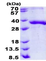 SDS-PAGE - Recombinant Human Junctional Adhesion Molecule 2/JAM-B protein (denatured) (ab139237)