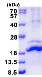 SDS-PAGE - Recombinant Human Relaxin 2/RLN2 protein (denatured) (ab139240)