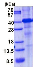 SDS-PAGE - Recombinant Human HFE protein (denatured) (ab139241)